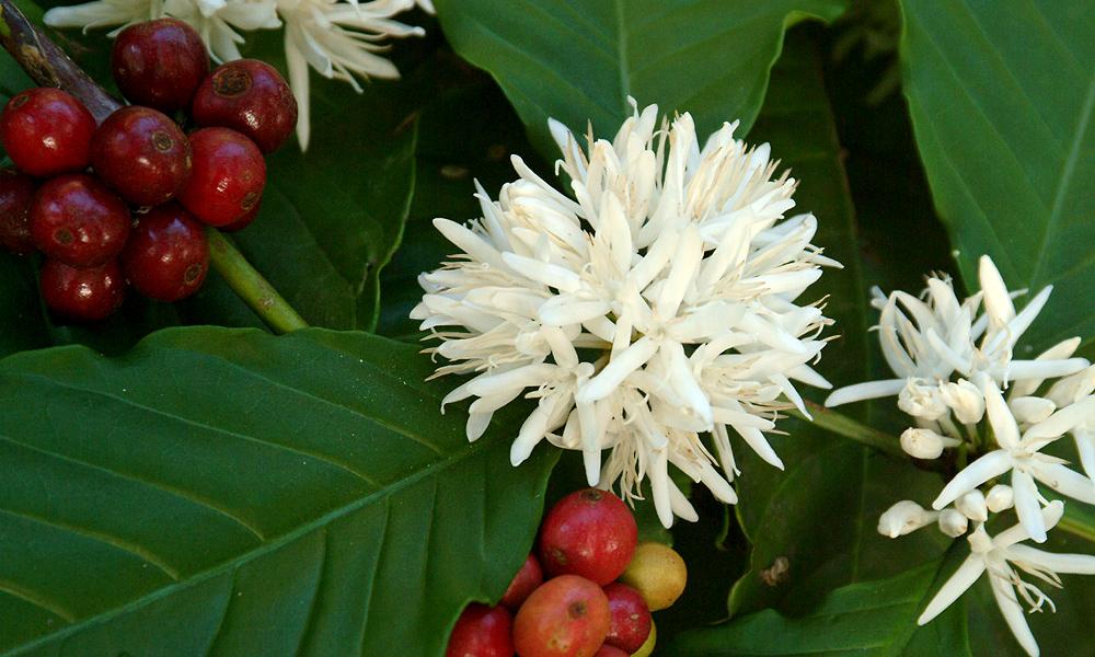 кофе цветет