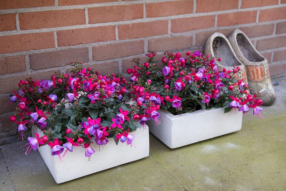 комнатные цветы фуксия уход и размножение
